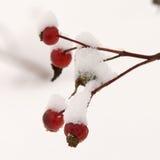 rose snow för bärhöftred Arkivbild