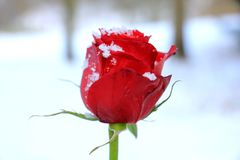 rose snow för red Royaltyfri Bild