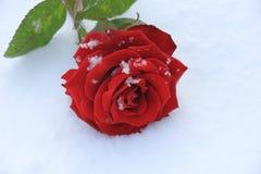 rose snow för red Royaltyfria Foton