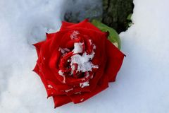 rose snow för red Arkivbilder