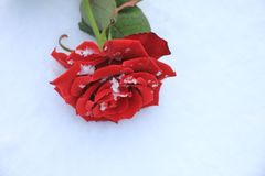 rose snow för red Royaltyfri Fotografi