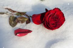 rose snow för red Arkivfoton