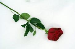 rose snow för red Royaltyfri Bild