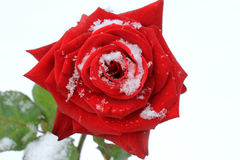 rose snow för red Arkivbilder