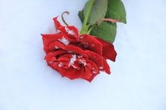 rose snow för red Fotografering för Bildbyråer
