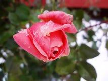 Rose on а snow (роза под снегом) Royalty Free Stock Images