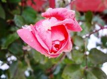 Rose on а snow (роза под снегом) Royalty Free Stock Photos