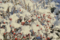 Rose and snow. Fruits rose covered with fluffy snow in sunny morning Royalty Free Stock Photo