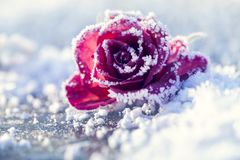 Rose in the snow Royalty Free Stock Photography