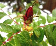 Rose in snow Royalty Free Stock Images