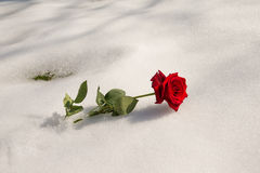 Rose in the snow Royalty Free Stock Image