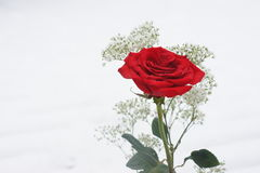 Rose in the snow. Royalty Free Stock Images