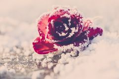 Rose in the snow - Vintage-Look Stock Images