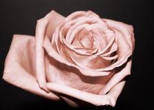Rose sobre negro Fotos de archivo