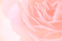 Rose in soft color and blur style Stock Photo