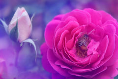 Rose in soft color style for Abstract background. Stock Photography