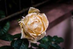 Rose With Soft Focus Background amarilla desmayada fotos de archivo libres de regalías
