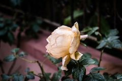 Rose With Soft Focus Background amarilla desmayada imágenes de archivo libres de regalías