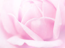 Rose Soft Pink Blur Stock Photography