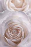 Rose in soft pink tinge. Royalty Free Stock Photography