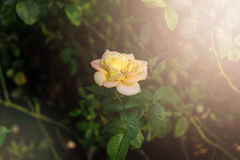 Rose with soft sun light Stock Images