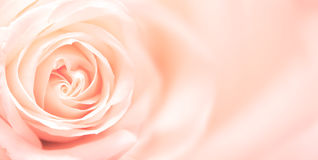 Rose. Softness pink rose on pink background Royalty Free Stock Photos