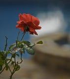 Rose sola Imagenes de archivo