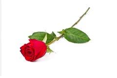 Rose sola Imagen de archivo libre de regalías