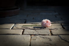 Rose sola en la tierra después de la boda soñadora Imágenes de archivo libres de regalías