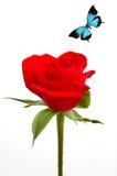 Rose soyeuse rouge avec le guindineau bleu Photos libres de droits