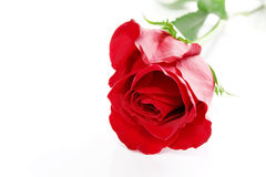 Rose with space for text Royalty Free Stock Photos