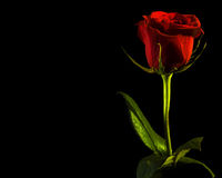 Rose, space for text. Red rose with water drops isolated on black background Royalty Free Stock Images