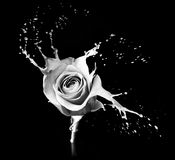 Rose splashes Stock Photo
