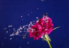 Rose  and splashes of water fly. Rose and splashes of water fly Royalty Free Stock Photos