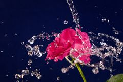 Rose  and splashes of water fly.  Stock Image