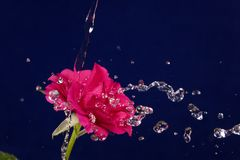 Rose  and splashes of water fly.  Royalty Free Stock Photo