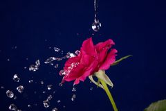 Rose  and splashes of water fly.  Stock Photos