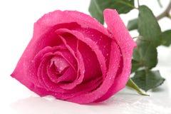 Rose in the splashing water royalty free stock images