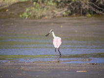 Rose spoonbill fishing in marsh Royalty Free Stock Image
