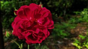 Rose spring flower in red colour. Rose spring flower red colour royalty free stock photo