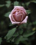 Rose. In spring, Kanapaha Botanical Garden, Gainesville, Florida Stock Photos