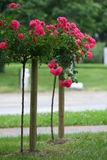 Rose on the stalk. Red rose on the stalk Stock Images