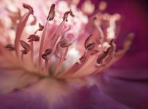 Rose Stamens Closeup Macro rosa fotografia stock