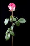rose stem för lång pink Arkivfoto