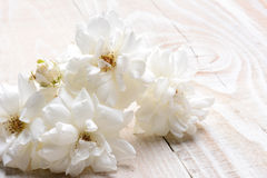 Rose Still Life blanca en blanco Imagen de archivo