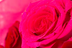 ROSE. Still life photo of a bouquet of flower Royalty Free Stock Images