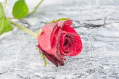 Rose on the stone Royalty Free Stock Photos
