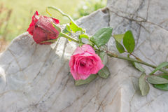 Rose on the stone Stock Photography
