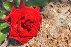 Rose on stone. Red rose on a natural stone royalty free stock photos