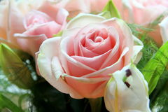 Rose. The stunning beauty of nature Stock Photo